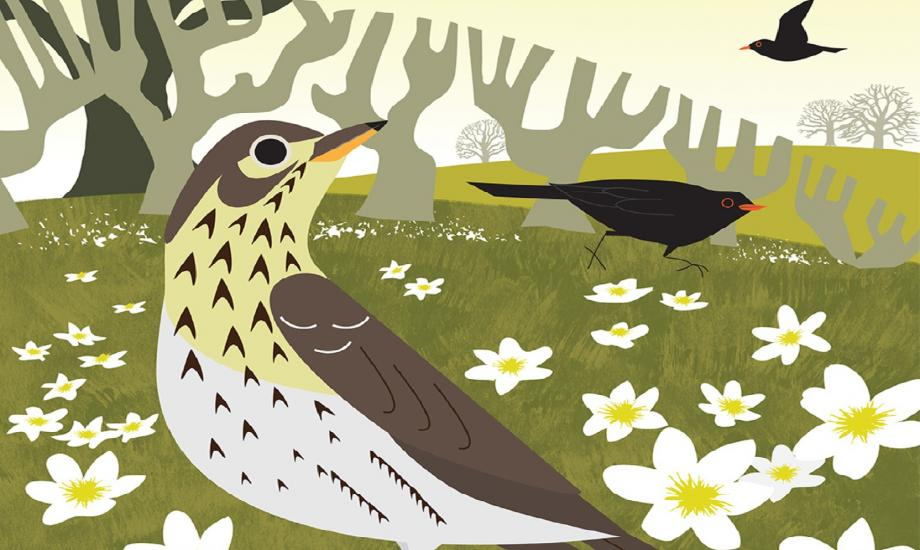 Song Thrush and Wood Anemones